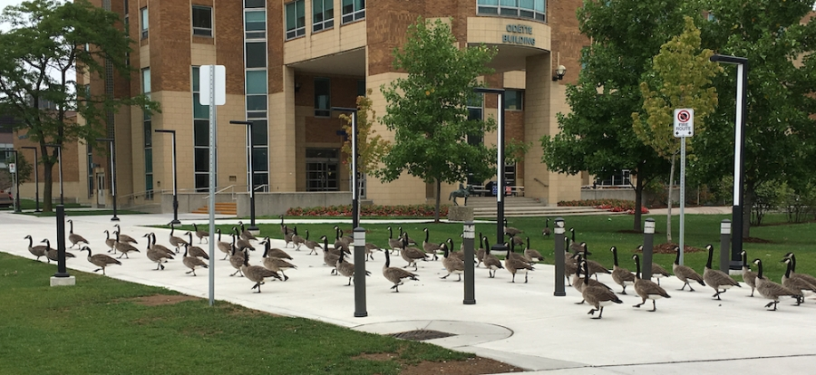 Canada geese on UWindsor campus